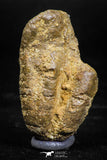 06013 - Rare Spinosaurus - Crocodile 1.63 Inch Coprolite with Digested Fish Scales