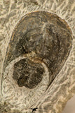 30858 - Nicely Preserved 1.45 Inch Harpes perradiatus Lower Devonian Trilobite