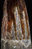 06026 - Top Beautiful 1.87 Inch Spinosaurus Dinosaur Tooth Cretaceous