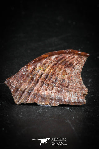 88756 - Rare Rostral Barb of Sawfish 0.78 Inch Peyeria Lybica From KemKem