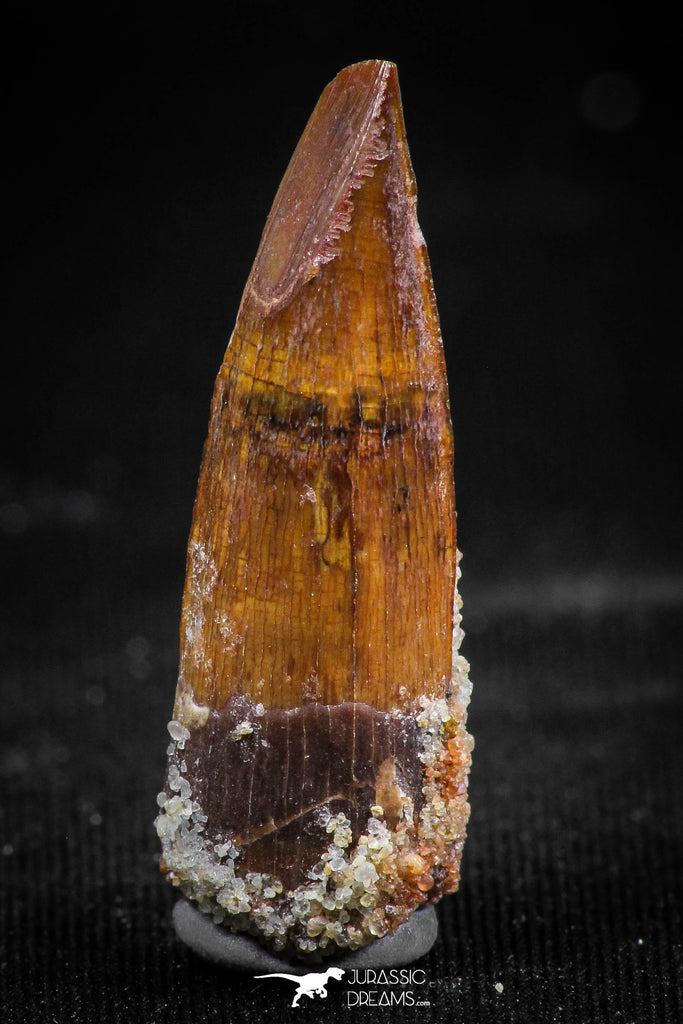 06034 - Nicely Preserved 1.21 Inch Spinosaurus Dinosaur Tooth Cretaceous