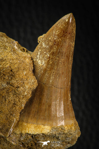 06803 - Rare 1.80 Inch Mosasaurus hoffmanni Tooth on Matrix Late Cretaceous