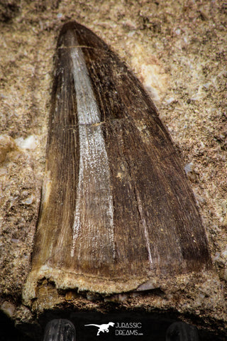 88775 - Top Beautiful 2.28 Inch Mosasaur (Prognathodon anceps) Tooth in Natural Matrix