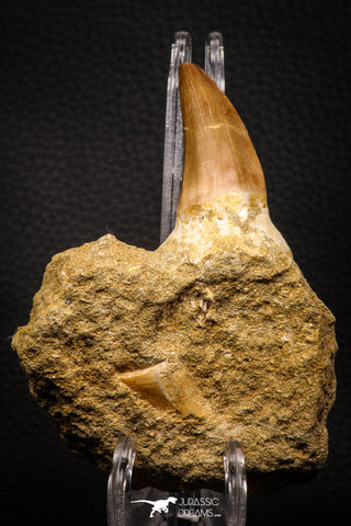 06805 - Top Rare Association of Mosasaurus hoffmanni Tooth + Squalicorax (Crow Shark) Tooth in Matrix