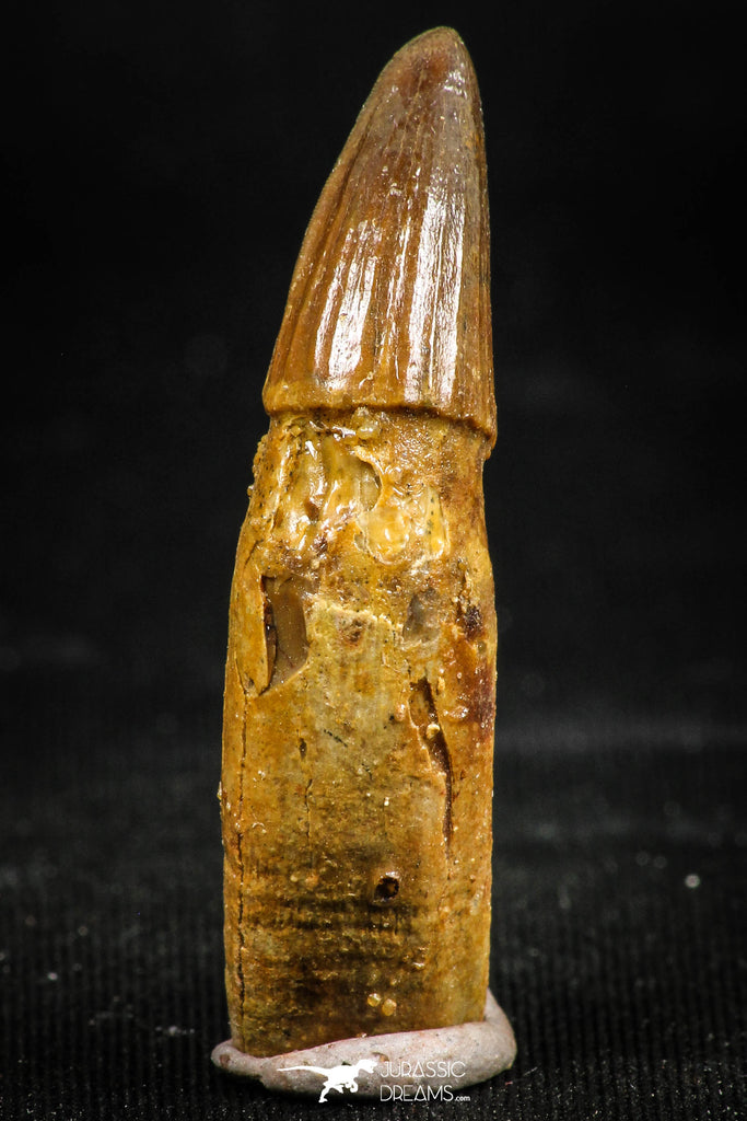 06042 - Rare 1.45 Inch Unidentified Cretaceous Crocodile Rooted Tooth KemKem Beds