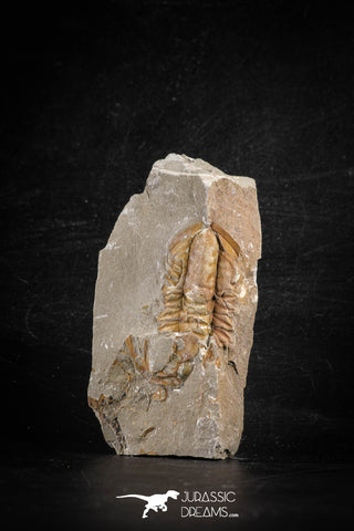 88499 - Nicely Preserved HAMATOLENUS VINCENTI Middle Cambrian Trilobite