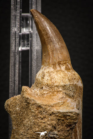 06811 - Well Preserved 2.89 Inch Eremiasaurus heterodontus (Mosasaur) Rooted Tooth
