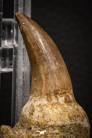 88782 - Top Beautiful 1.57 Inch Mosasaur (Prognathodon anceps) Tooth in Natural Matrix