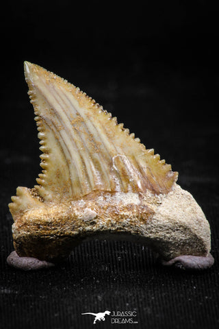 06050 - Beautiful 1.25 Inch Palaeocarcharodon orientalis (Pygmy white Shark) Tooth