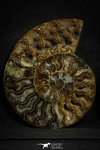 22133 - Cut & Polished 4.85 Inch Cleoniceras sp Lower Cretaceous Ammonite Madagascar - Agatized