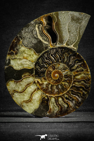 22134 - Cut & Polished 5.50 Inch Cleoniceras sp Lower Cretaceous Ammonite Madagascar - Agatized