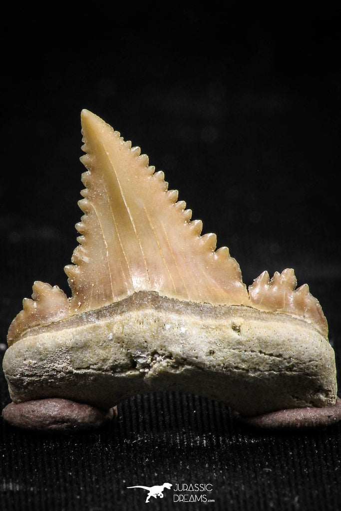 06061 - Top Beautiful 1.03 Inch Palaeocarcharodon orientalis (Pygmy white Shark) Tooth