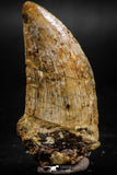 06062 - Great Serrated 2.14 Inch Carcharodontosaurus Dinosaur Tooth KemKem Beds