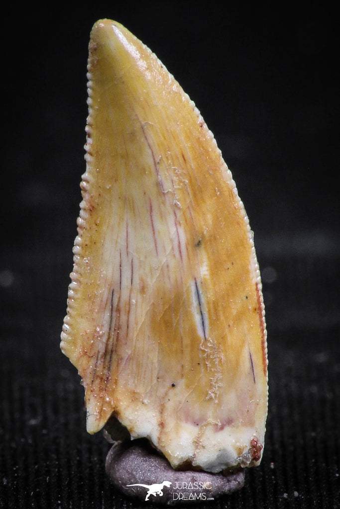 06071 - Top Quality 0.82 Inch Serrated Abelisaur Dinosaur Tooth Cretaceous KemKem Beds