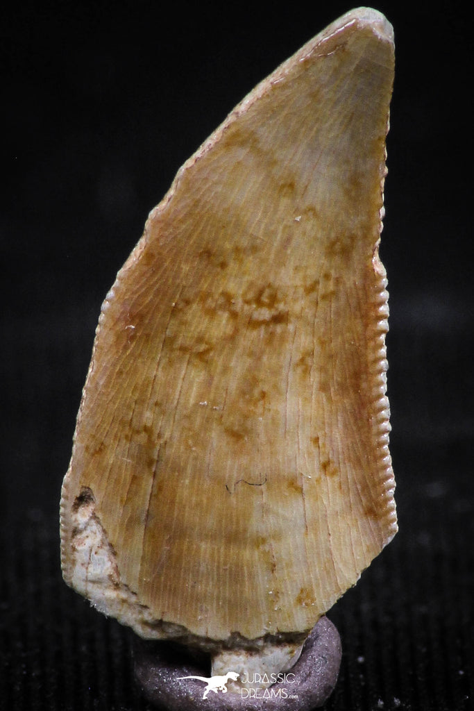 06072 - Nicely Preserved 0.80 Inch Serrated Abelisaur Dinosaur Tooth Cretaceous KemKem Beds