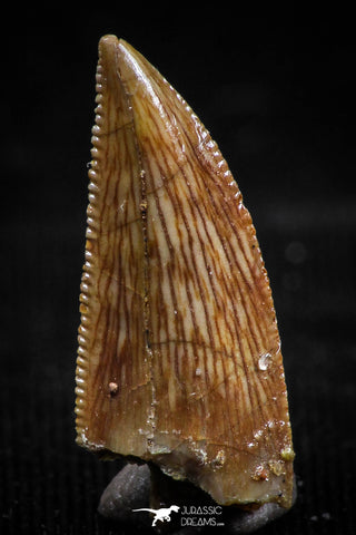 06073 - Top Beautiful 0.74 Inch Serrated Abelisaur Dinosaur Tooth Cretaceous KemKem Beds