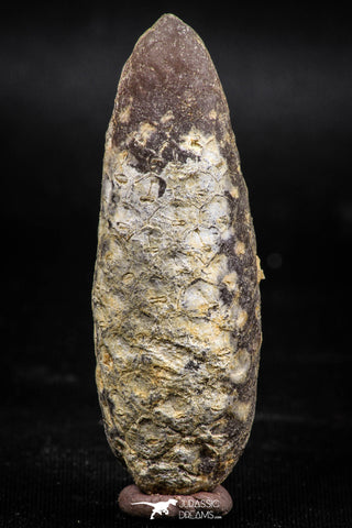 06079 - Top Beautiful 2.08 Inch Fossilized Silicified Pine Cone EQUICALASTROBUS Eocene Sahara Desert