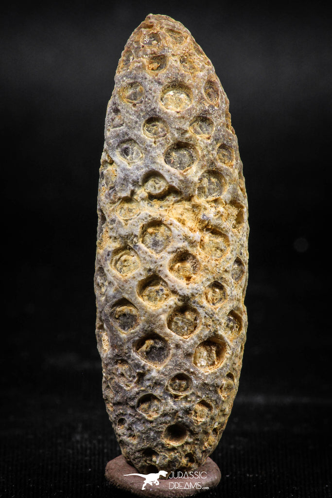 06080 - Top Rare 2.02 Inch Fossilized Silicified Pine Cone EQUICALASTROBUS Eocene Sahara Desert