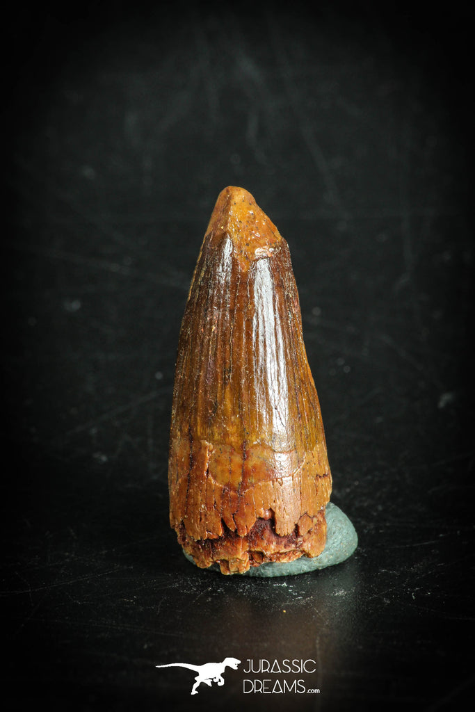 88869 - Top Beautiful 1.18 Inch Juvenile Spinosaurus Dinosaur Tooth Cretaceous