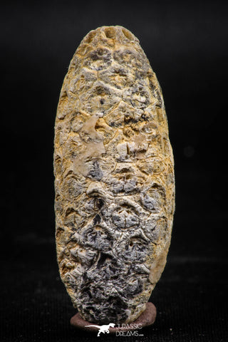 06081 - Beautiful 1.90 Inch Fossilized Silicified Pine Cone EQUICALASTROBUS Eocene Sahara Desert