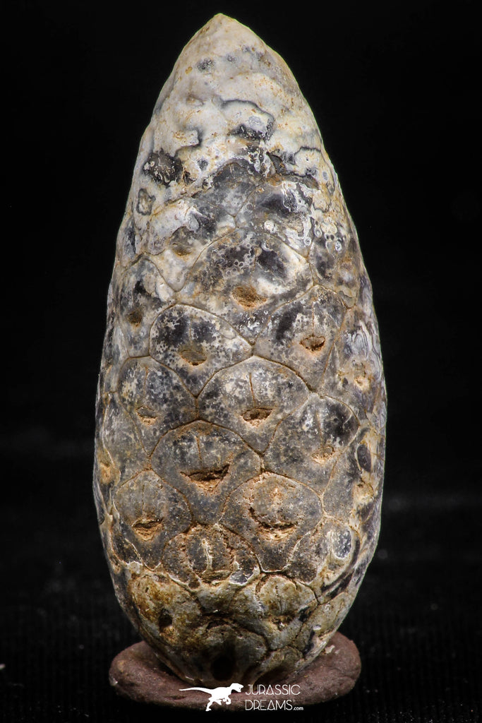 06083 - Top Rare 1.54 Inch Fossilized Silicified Pine Cone EQUICALASTROBUS Eocene Sahara Desert