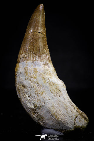 20743 - Great Quality 2.08 Inch Platecarpus ptychodon (Mosasaur) Rooted Tooth