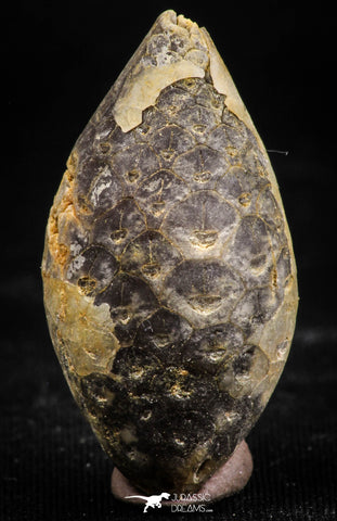 06084 - Beautiful 1.41 Inch Fossilized Silicified Pine Cone EQUICALASTROBUS Eocene Sahara Desert