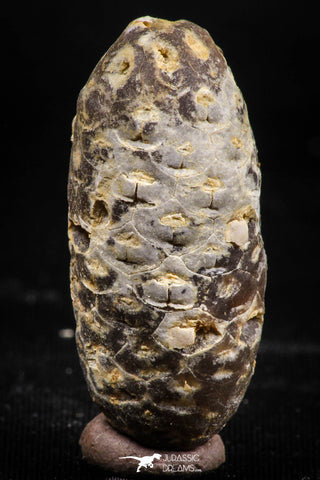06085 - Beautiful 1.44 Inch Fossilized Silicified Pine Cone EQUICALASTROBUS Eocene Sahara Desert