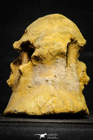 22168 - Top Huge 5.92 Inch Spinosaurid Dinosaur Partial Cervical Vertebra Bone Cretaceous KemKem Beds