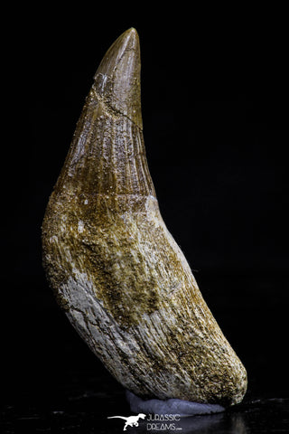 20745 - Great Quality 1.79 Inch Platecarpus ptychodon (Mosasaur) Rooted Tooth