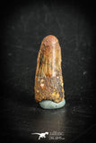 88881 - Top Beautiful 1.12 Inch Juvenile Spinosaurus Dinosaur Tooth Cretaceous