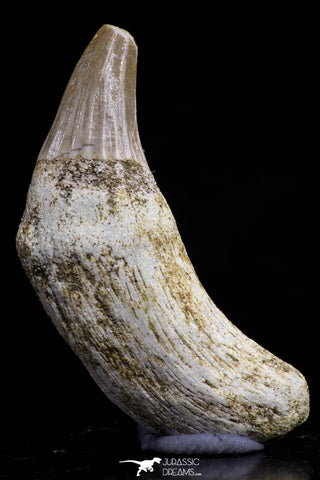 20746 - Finest Grade 1.64 Inch Platecarpus ptychodon (Mosasaur) Rooted Tooth