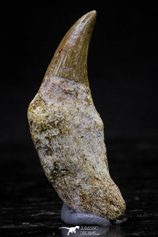 20748 - Great Quality 1.59 Inch Platecarpus ptychodon (Mosasaur) Rooted Tooth