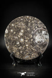 88889 - Top Beautiful Decorative Polished Circle Shaped Plate with Devonian Fossils