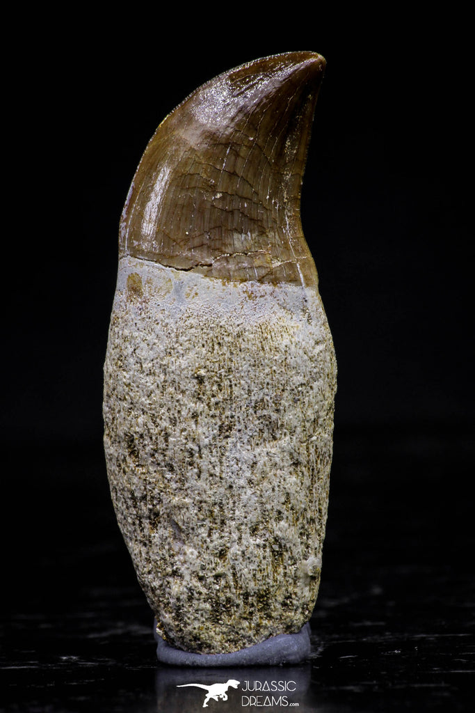 20750 - Top Beautiful Rooted 1.72 Inch Mosasaur (Prognathodon anceps) Tooth
