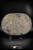 88890 - Top Beautiful Decorative Polished Oval Shaped Plate with Devonian Fossils