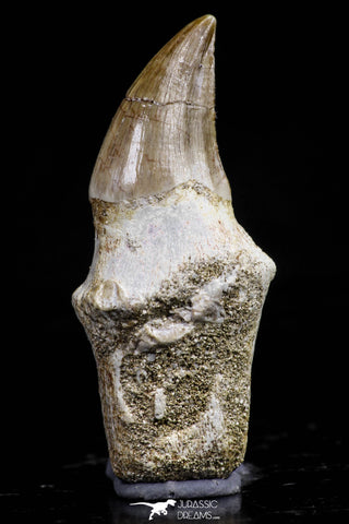 20755 - Top Quality 1.54 Inch Rooted Halisaurus walkeri (Mosasaur) Tooth Cretaceous