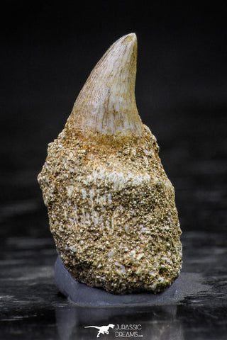 20760 - Great Quality 0.87 Inch Platecarpus ptychodon (Mosasaur) Rooted Tooth
