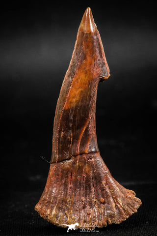 06087 - Top Quality 2.31 Inch Onchopristis numidus Cretaceous Sawfish Rostral Tooth