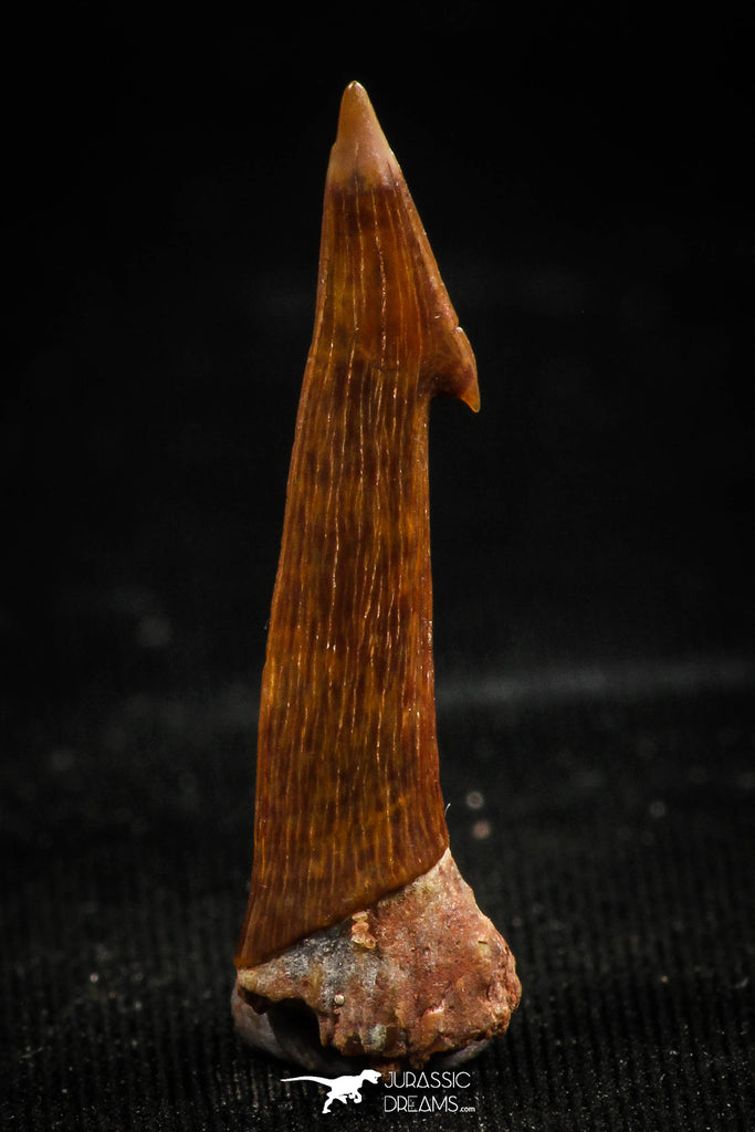 06092 - Beautiful Red 0.87 Inch Onchopristis numidus Cretaceous Sawfish Rostral Tooth
