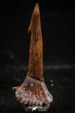06093 - Top Quality 0.90 Inch Onchopristis numidus Cretaceous Sawfish Rostral Tooth