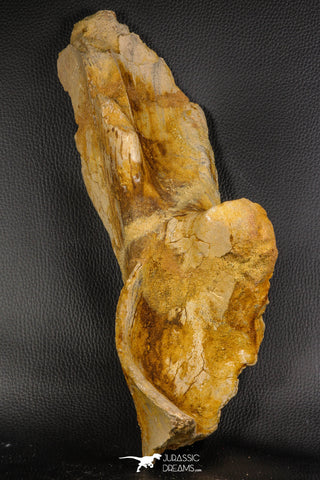 07747 - Top Huge 13.31 Inch Spinosaurus Dinosaur Partial Pelvic Bone (Ilium) Cretaceous KemKem Beds