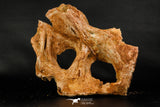 07748 - Top Rare 9.09 Inch Unidentified Dinosaur Bone Late Cretaceous Kem Kem