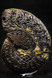 06104 - Top Quality Pyritized 1.39 Inch Unidentified Lower Cretaceous Ammonites