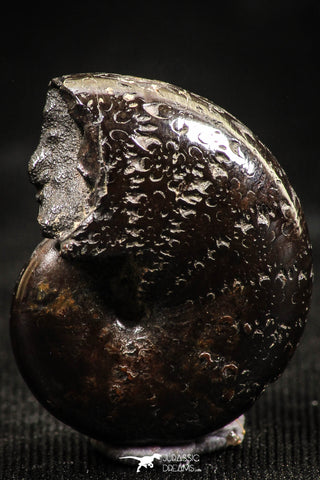 06110 - Beautiful Pyritized 0.82 Inch Phylloceras Lower Cretaceous Ammonites