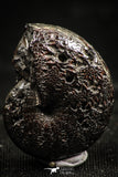 06112 - Beautiful Pyritized 0.90 Inch Phylloceras Lower Cretaceous Ammonites