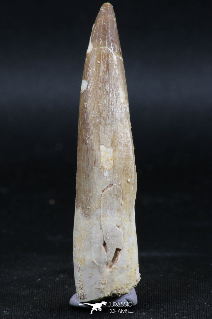 06124 - Top Quality 2.52 Inch Partially Rooted Elasmosaur (Zarafasaura oceanis) Tooth