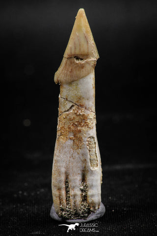 06133 - Well Preserved 1.88 Inch Rooted Schizorhiza Rostral Tooth Cretaceous Sawfish