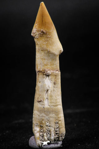 06135 - Beautiful 1.82 Inch Rooted Schizorhiza Rostral Tooth Cretaceous Sawfish
