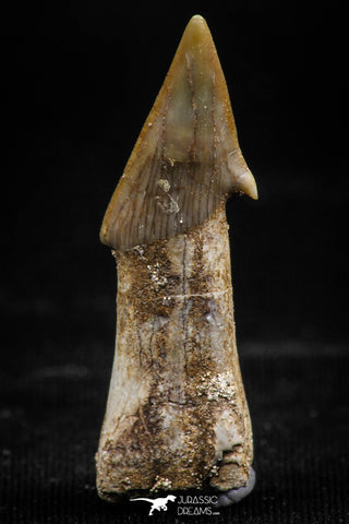 06138 - Beautiful 1.37 Inch Rooted Schizorhiza Rostral Tooth Cretaceous Sawfish